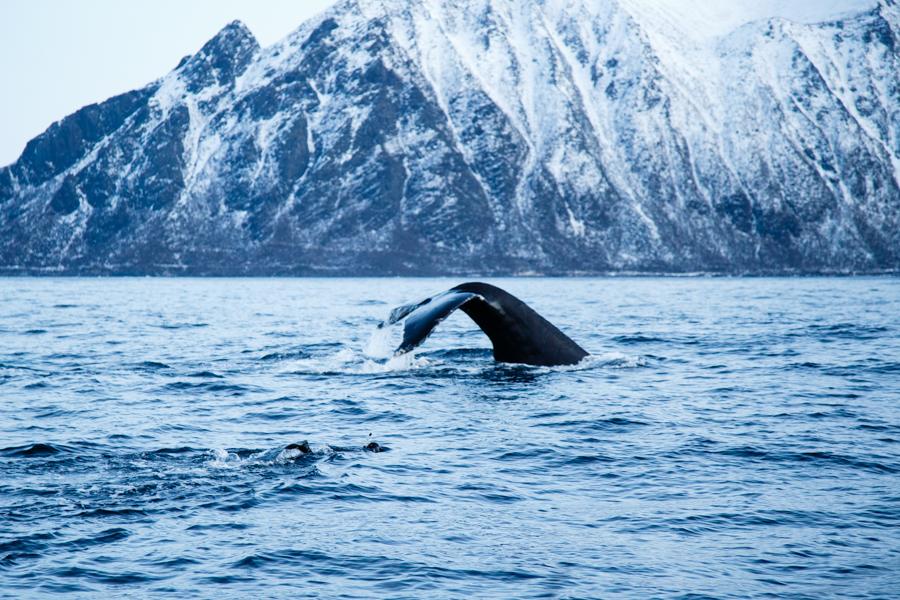 Orcas Norway