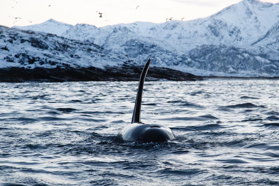 2-Orca-BAR_4226