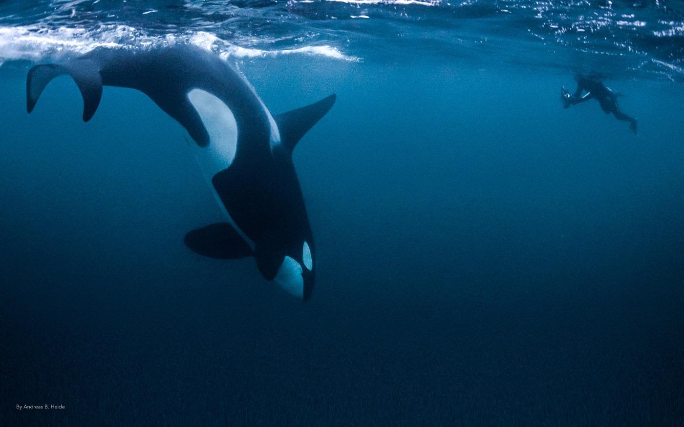 Freediver orca