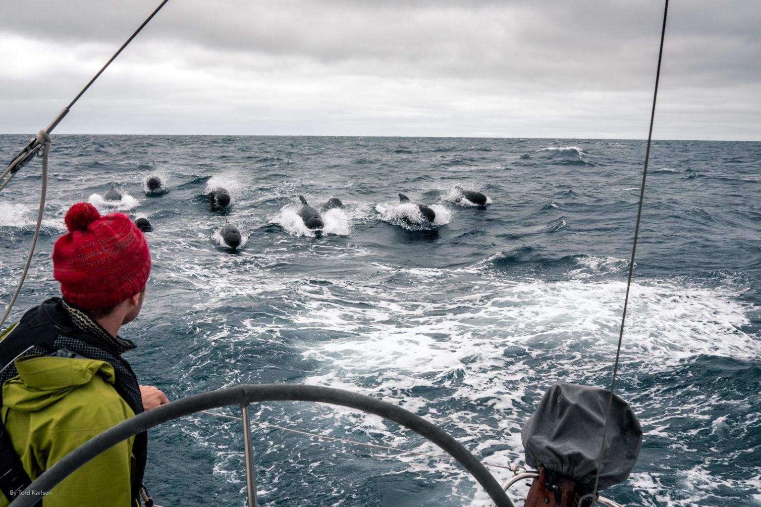 Sailing pilot whales