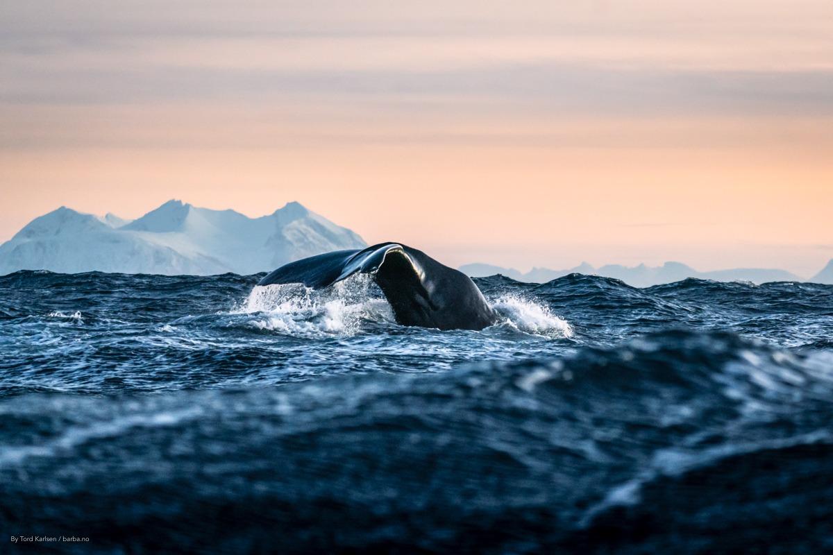 Sperm wale Andenes Norway. By Tord Karlsen